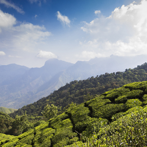 A tea experience in Darjeeling and Assam