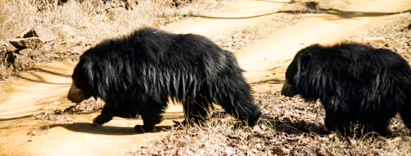 Sloth Bear in Satpura